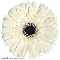 white gerbera with black center