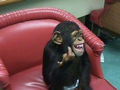 Laughing Chimp flips the bird!