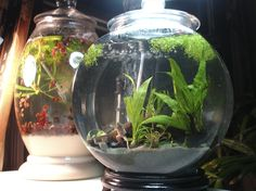 African Dwarf Frogs And Pink Red Ramshorn Snails Look At This Cute Fish Tank