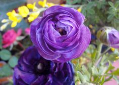 Purple Persian Buttercups - Google Search