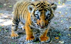 This adorable tiger cub. Cute Tiger Cubs, Cute Tigers, Cute Baby Animals, Animals And Pets, Wild Animals, Tigre Animal, Cubs Wallpaper, Animal Wallpaper, Tiger Art