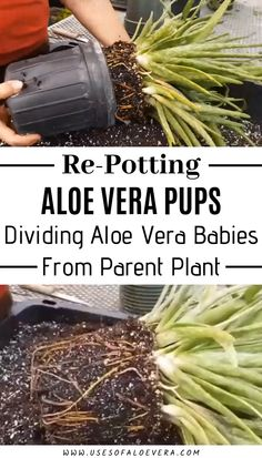 Don't you know how to divide or repot them successfully then you are at the right place to know about it deeply? Simple instructions and tips are shown below will help you to divide, repot and grow more of them. Aloe Vera Plant Indoor, Indoor Plants, Growing Gardens, Growing Plants, Garden Plants, House Plants, Gardening Tips, Container Gardening, Growing Aloe Vera