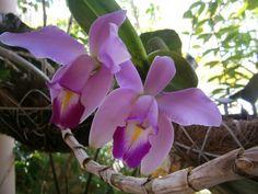 Venezuela:  easter orchid / orquídea de pascua, flor de mayo (Cattleya mossiae)  http://en.wikipedia.org/wiki/Cattleya_mossiae  http://es.wikipedia.org/wiki/Cattleya_mossiae