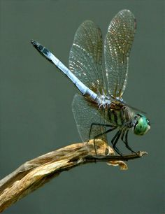 colorful pictures of dragon flies | Blue Dragonfly suns itself above my garden pond.