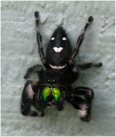 green fanged black jumping spider. This spider was on a ladie's car next to me. Of course she freaked when I said it was there.