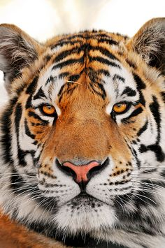 The stare of the tiger - http://www.1pic4u.com/blog/2014/12/10/the-stare-of-the-tiger/