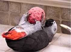 Timneh African Grey, African Grey Parrot, Pretty Birds, Beautiful Birds, Parrot Facts, Budgies, Parrots, Parrot Bird, Bird Toys