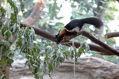 Schönhörnchen (Callosciurinae)