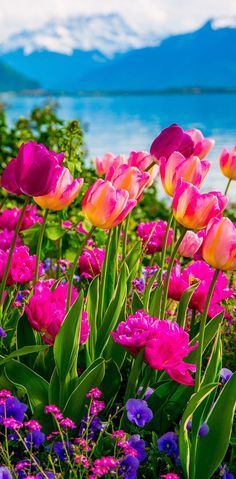 Pink and purple tulips, Flowers on Lake Geneva, with Swiss Alps, Montreux, Switzerland (Europe travel, vacation)