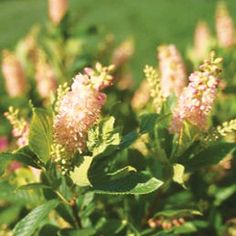 Summersweet  We like summersweet because it blooms in shady spots. We also love that its pink or white flowers have a wonderful fragrance. Add its golden fall leaf color and you have an ideal shrub. Note: Look for cultivars, such as 'Ruby Spice', that offer an extra-long bloom season.  Name: Clethra alnifolia  Growing Conditions: Part to full shade and moist soil  Size: To 5 feet tall  Zones: 3-9