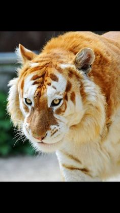 is the rare Golden Tiger This is the rare Golden Tiger - Big cats are such beautiful animals and this one tops the list.This is the rare Golden Tiger - Big cats are such beautiful animals and this one tops the list. Beautiful Cats, Animals Beautiful, Beautiful Teeth, Beautiful Pictures, Beautiful Photos Of Nature, Pretty Animals, Amazing Photos, Big Cats, Cats And Kittens