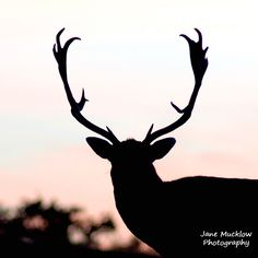 Photograph of a deer silhouette at sunset by Jane Mucklow. Knole Park, Sevenoaks, Kent Available as a greetings card and print. Deer Silhouette, Business Headshots, Flower Prints, Sunset, Park, Photography, Animals, Beautiful, Sunsets