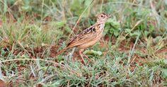 """Apenas entre 90 e 250 espécimes desta ave (""""Heteromirafa sidamoensis"""") ainda vivem na Etiópia. O pássaro perdeu seu habitat com a expansão da agricultura no país africano"""