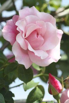 Climbing Hybrid Tea Rose: Rosa 'Madame Grégoire Staechelin' AKA 'Spanish Beauty' (Spain, 1927)