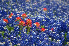 Red indian blanket in a sea of blue bonnets.