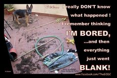 Hmmm..yep, this sums up our german shepherd dogs perfectly! Lol