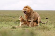 Mating lions by Michal Jirouš on 500px
