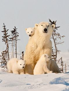 Mama polar bear with her babies.