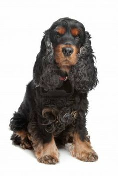 black and tan English cocker spaniel in front of a white background Stock Photo - 10299754
