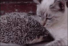 Cat cuddles hedgehog. Sometimes, love hurts *click through*