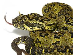 Scientists say they've discovered a new species of horned pitviper in the critically endangered cloud forests of the Sierra Madre Oriental in Jalisco, Mexico, and determined that another pitviper is indeed a unique species.