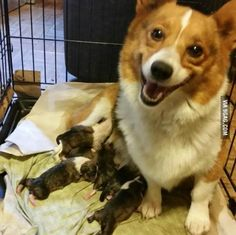 Corgi smiling with pride over her new puppies