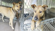 ADOPTION PENDING!  TO HELP WITH DONATIONS & TRANSPORTATION TO NEW HOME PLEASE FOLLOW FB THREAD!!!  ^^BLIND DOG^^ Lake City, FL; Stunningly Beautiful, Sweet, Young, Blind Shepherd/Rhodesian Ridgeback X *