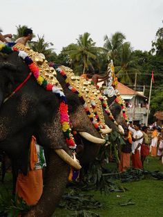 """Gajamela"" parading 21 caparisoned elephants with a splendid display of `nettippattom,' `alavattom,' `venchamarom,' neck chains and decorated parasols"