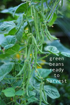 learn how to grow you own green beans in your backyard! get outside and enjoy nature, how to garden on link.