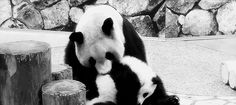 Panda baby with her mama (x)