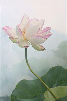 Lotus Flower Surreal Series: DD0A0629-1-1000 Lotus Flower Pictures, Lotus Flower Art, Lotus Art, Lotus Flower Paintings, Lotus Flower Drawings, Watercolor Lotus, Lotus Painting, Watercolor Flowers, Wallpaper Nature Flowers