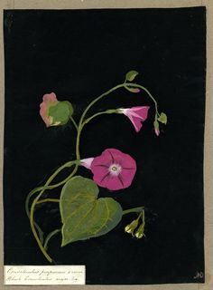 Mary Delany (1700-1788) - Convolvulus purpureus, from an album (Vol.X, 19), 1781 - collage of coloured papers, with bodycolour and watercolour, on black ink background
