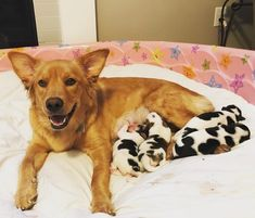 In late two dog-loving foster parents took in a pregnant golden retriever mix named Rosie. They expected a large litter of fluffy, golden puppies, but instead, they discovered…cows? Little Puppies, Cute Puppies, Rescue Dogs, Pet Dogs, Pets, Baby Animals, Cute Animals, Wild Animals, Bluetick Coonhound