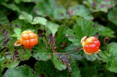 Lapland wilderness cloudberries. - Hilla / lakka. Photo: Maarit