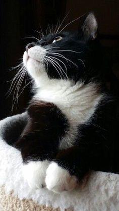 Really nicely marked Tuxedo cat.