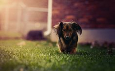 free wallpaper and screensavers for dachshund
