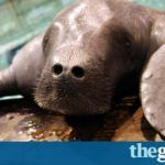 Snooty, world's oldest known manatee, dies aged 69 in 'heartbreaking accident' | US news