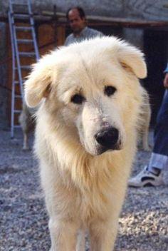 Berger des Abruzzes - Berger de Maremme et Abruzzes - L'avis du vétérinaire - Choisir son chien