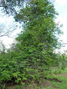 acacia Schweinfurthii        climbing up other trees near the river           River climbing Acacia          S A no 184,1