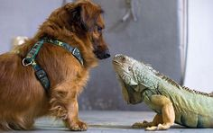 Regensburg, Germany — A Dachshund named 'Rambo' gets up close and personal with a green iguana named 'Otto' at the zoo.   Source:  LA Times...