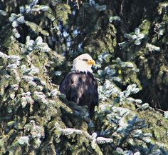 March 14, 2013: A bald eagle perched in an evergreen tree basking in the sunshine in Juneau, Alaska...