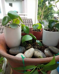 sekawan peperomia raindrop hasil leaf propagation...a year ago i bought this from @berrykinn as a birthday gift for myself..masa ni baru berjinak2 dgn houseplants..but harin tak selalunya indah...baru lg kan masa tu..xbiasa lg dr segi kuantiti dan kekerapan menyiram..root rot la beliau..so cuba la b Plant Care, Evergreen, South America, Planter Pots, Tropical, Tips, Plants, Plant, Planets
