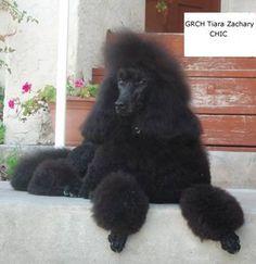 standard poodles | Photo Gallery -- TIARA Standard Poodles