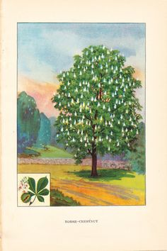 Horse Chestnut Tree - 1926