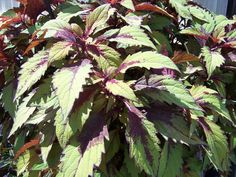 Coleus 'Flame Thrower Spiced Curry'
