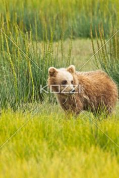 cub snacking - A brown bear cub snacks on some grass