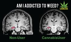 Is Marijuana Addictive? Some experts state that only about nine percent of marijuana users become addicted to the drug and that number only rises to 17% when the user started at a young age. When contrasted to a 33% addiction rate for young nicotine smokers, many can argue that marijuana is less addictive than tobacco.