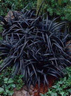 Shade garden - Black Mondo Grass. I absolutely LOVE this stuff. Imagine it growing as a border for flowering plants with bright colors. Also makes a great mass planting surrounded by a stone border. Or in planters or flower boxes for contrast.