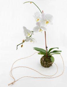 Orchid String Kokedama | Orchid Kokedama by Twig Terrarium | twigterrariums