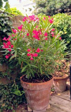 Oleander (overwinterd in kas) juni 2017